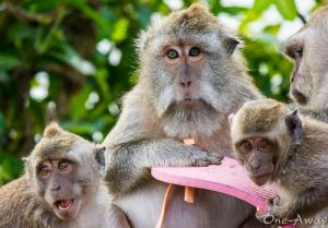 Uluwatu Macaques Bali Indonesia
